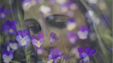 la coroncina di violette