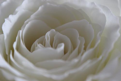 rosepetal 007a