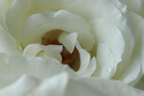 rosepetal 050a