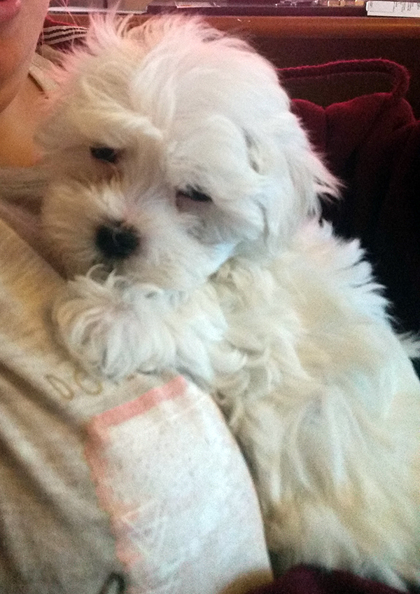 puppies maltese