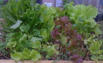 Borden - Lettuce in the garden