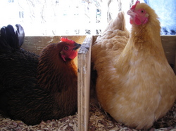 Borden - chickens in the laying box