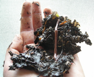 Borden - worms from composting