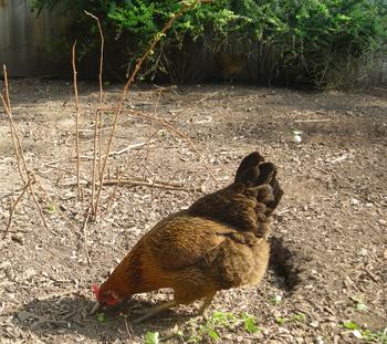 Borden - Chicken in run