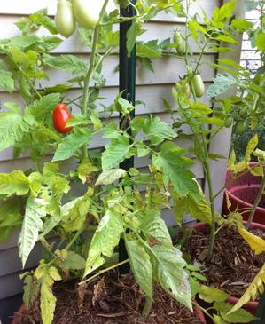 Borden - tomato plant