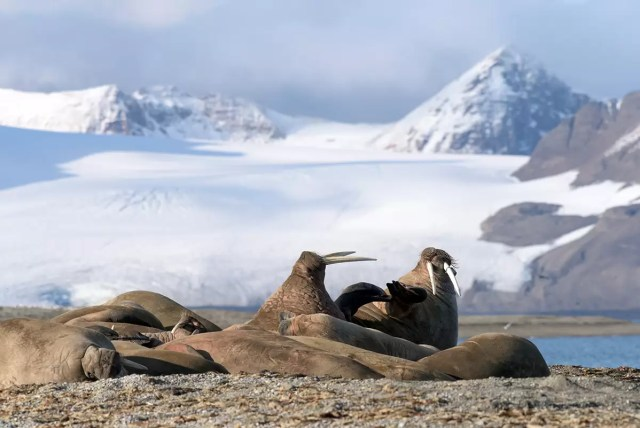 Walruses in front of a glacier in svalbard