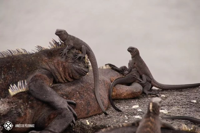 Galápagos marine Iguanas sitting ontop of each other. The young ones do that for protection