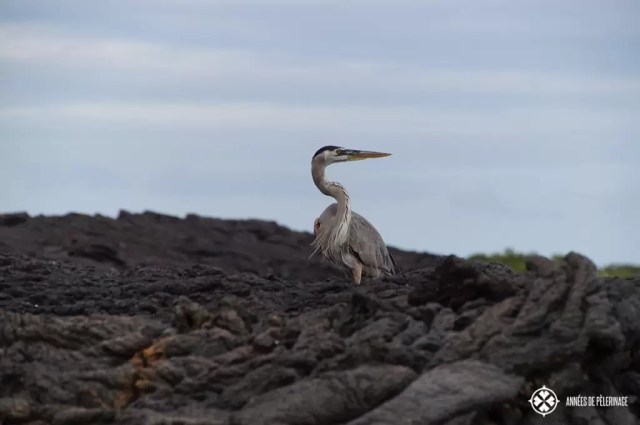 A great blue heron standing amidst cold lava looking for prey