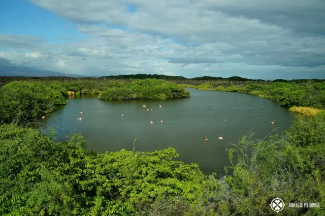 An ancient, now flooded, lava caldera on Galápagos with a rare large group of flamingos.