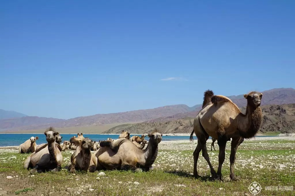 A group of wild bactrican camels resting near the shore of a mountain lake in Kyrgyzstan