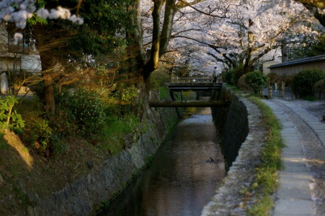 The philosopher's path in Kyoto during cherry blossom time in spring