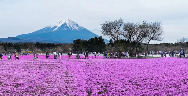 Mount Fuji from the Shibazakura Festival