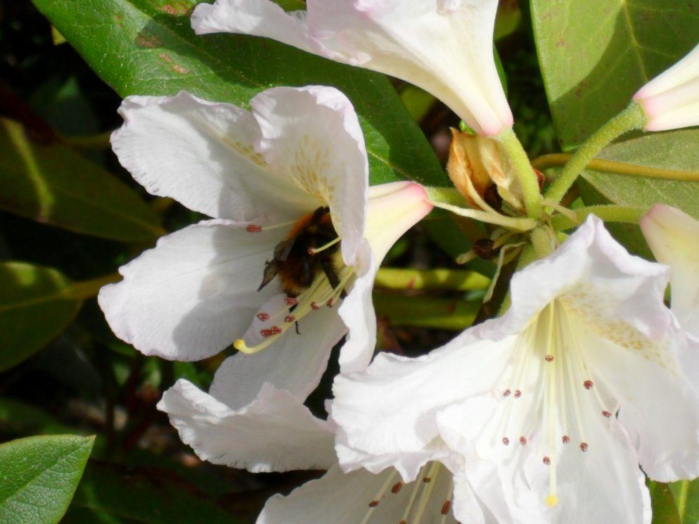 Humler og bier: Sats på giftfrie omgivelser