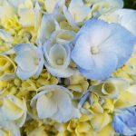 Ferien og hortensia på Azorene