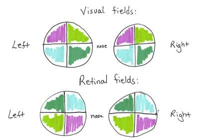 retinalfield