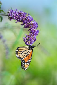 Anne Roberts Gardens Premier-landscaping-tips_butterfly-bush-202x300