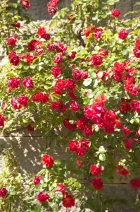 Anne Roberts Gardens premier-landscaping-tips_roses-199x300