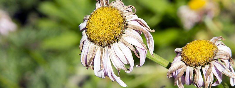 Anne Roberts Gardens wilting-flower-web