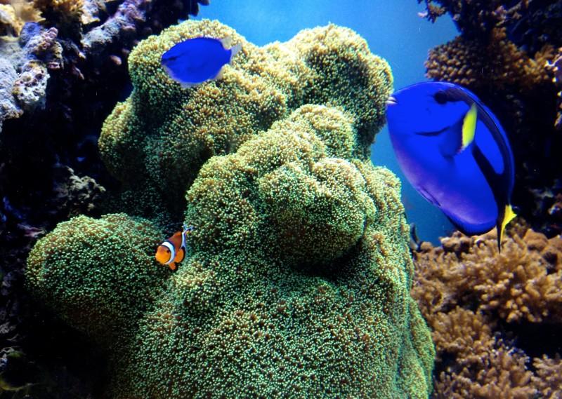 Finding Nemo Fish at the Monterey Aquarium in California