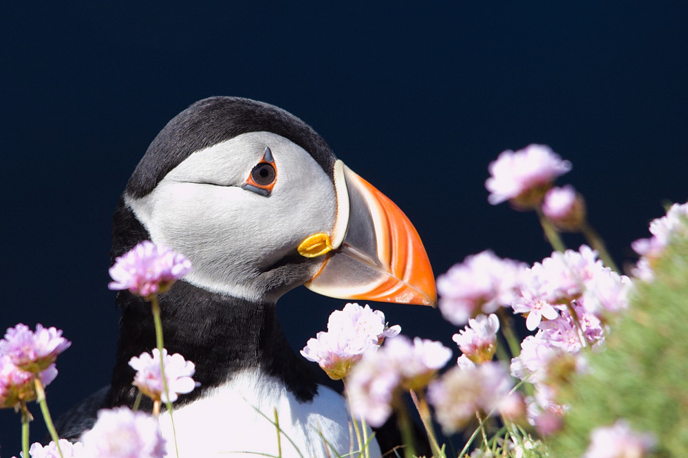 Puffin hiding in flowers