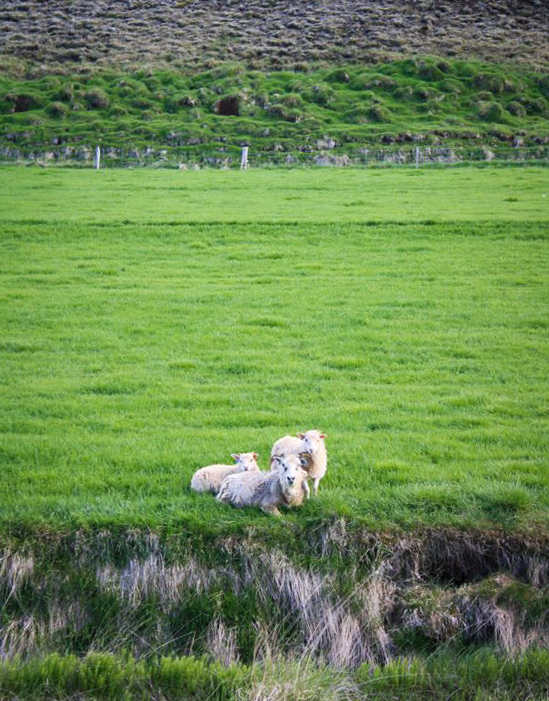 Moutons d'amour en Islande