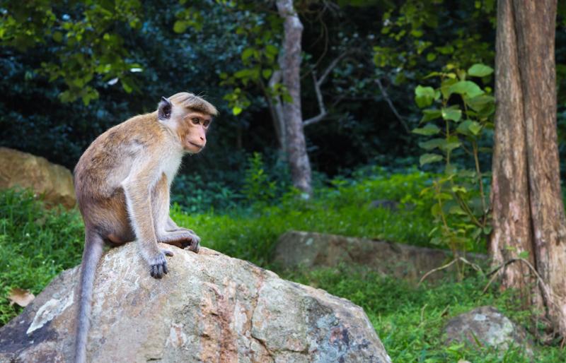 Où voir des singes au Sri Lanka