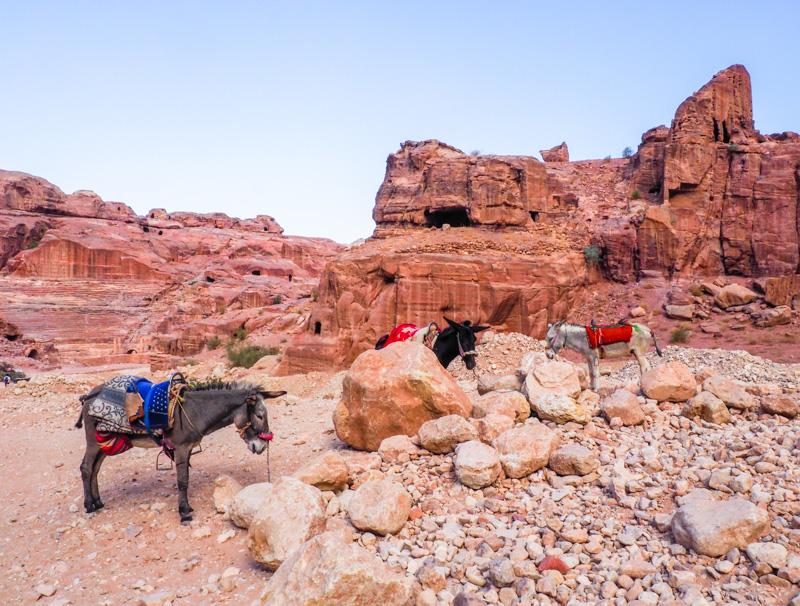 Ânes sur le site de Petra