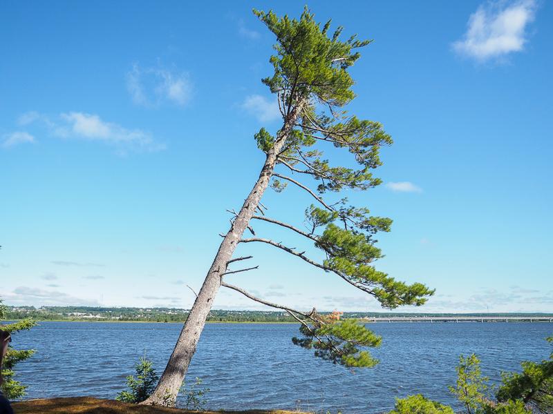 Arbre sur l'île Beaubears près de Miramichi