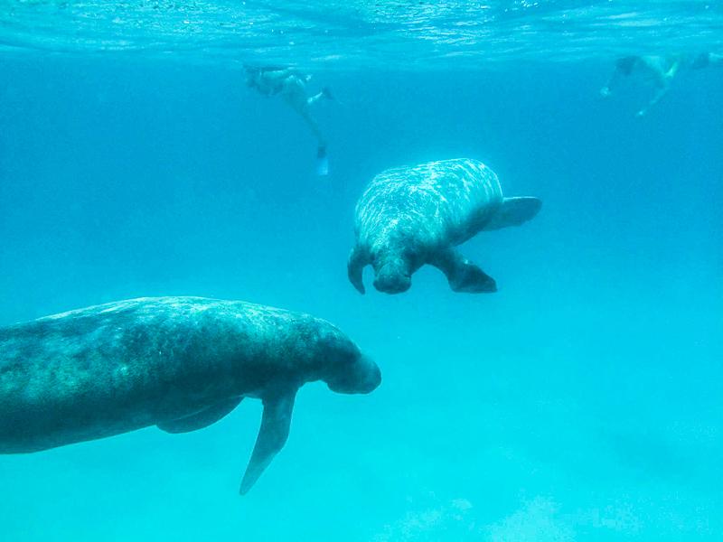 Lamantins aperçus au Belize, près de l'île de Caye Caulker