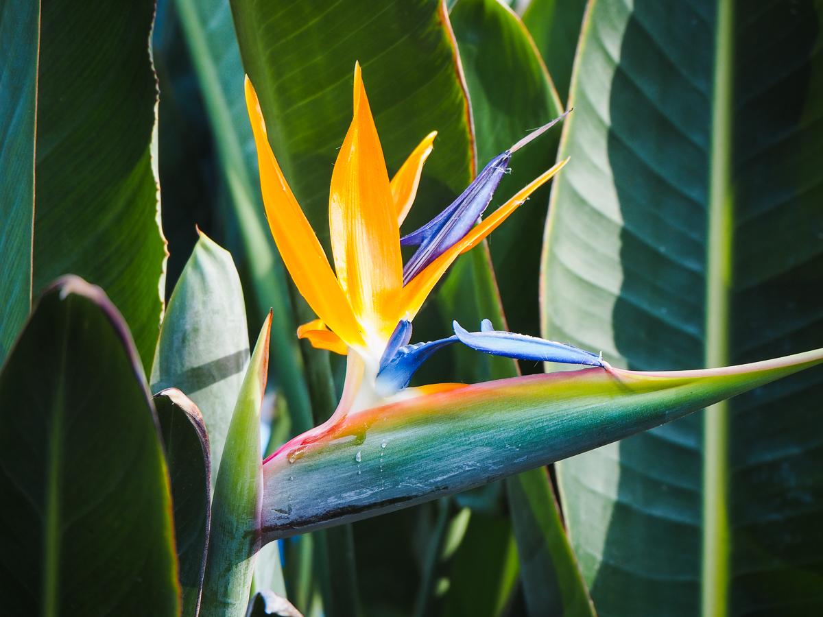 Oiseau du paradis dans le Parque de Malaga