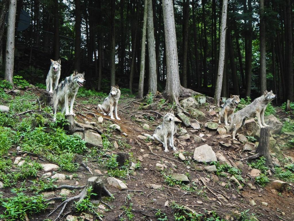 Observation des loups sous la pluie au Parc Oméga