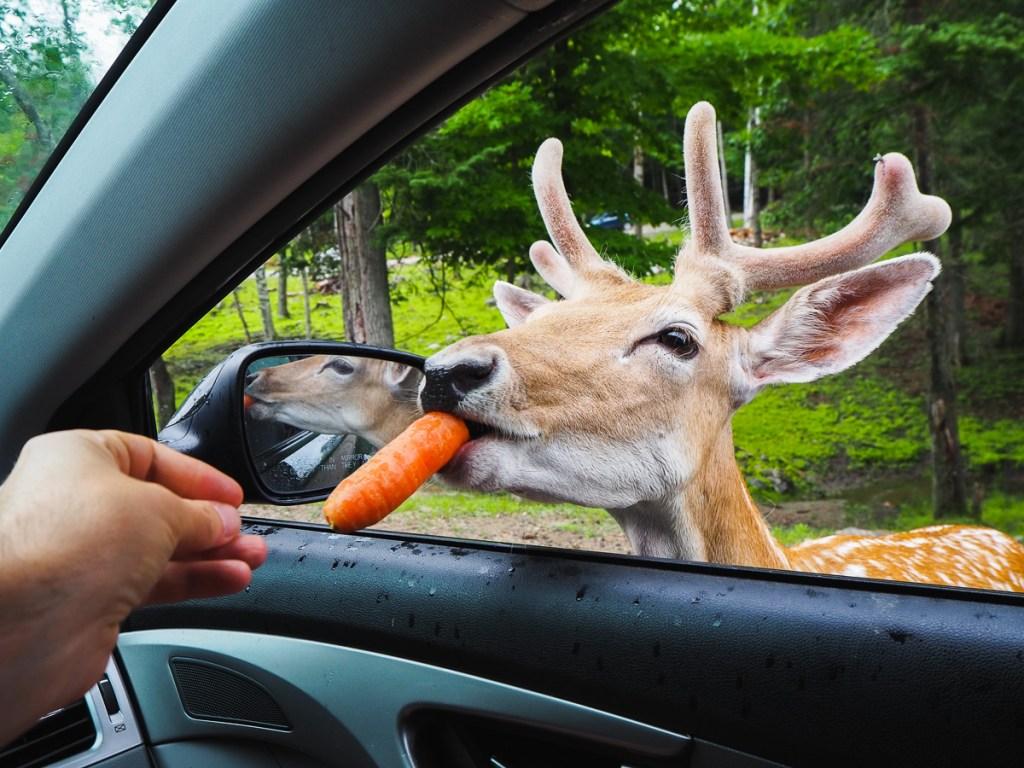 Nourrir un jeune chevreuil avec une carotte au Parc Oméga un jour de pluie