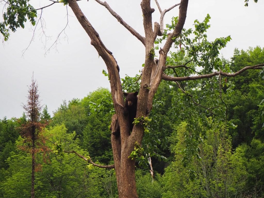 Ourson qui grimpe dans un arbre au Parc Oméga