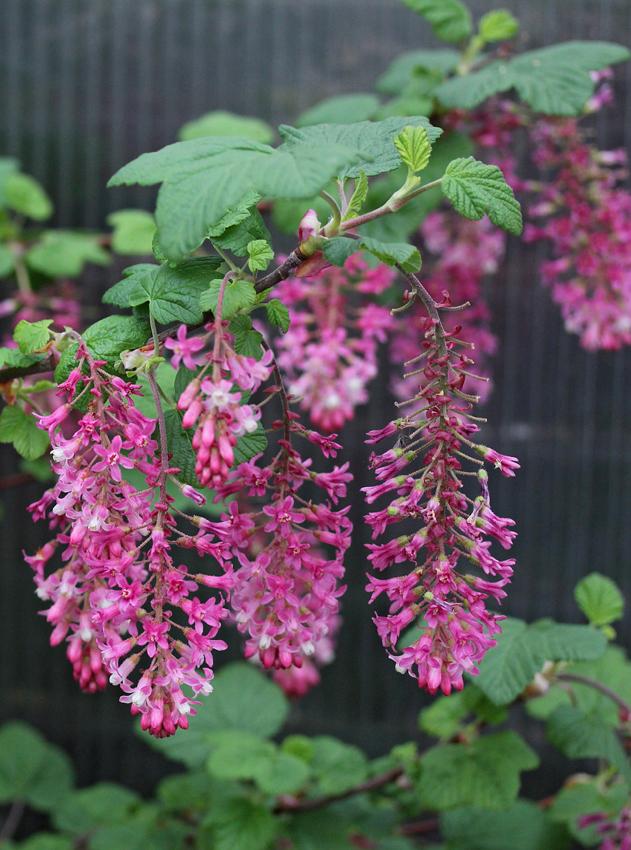 California Native Flowers Drought Tolerant