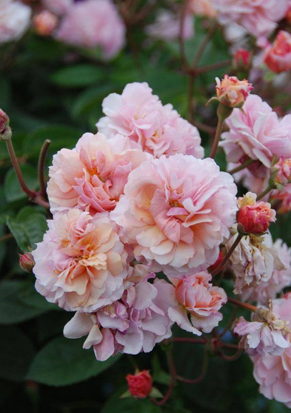 Rosa Cornelia Quot Hybrid Musk Rose Quot Buy Online At Annie S