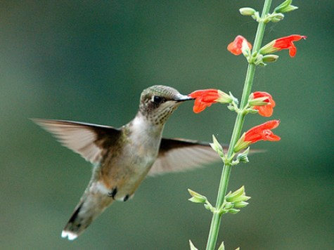 hummingbird on red salvia