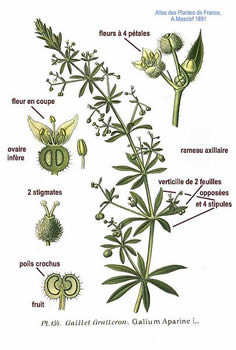 Galium aparine