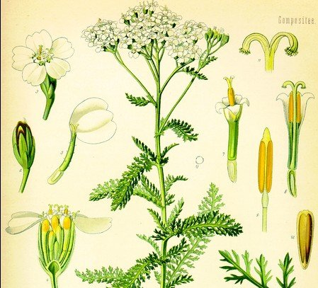 yarrow for first aid