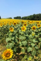sunflower_field