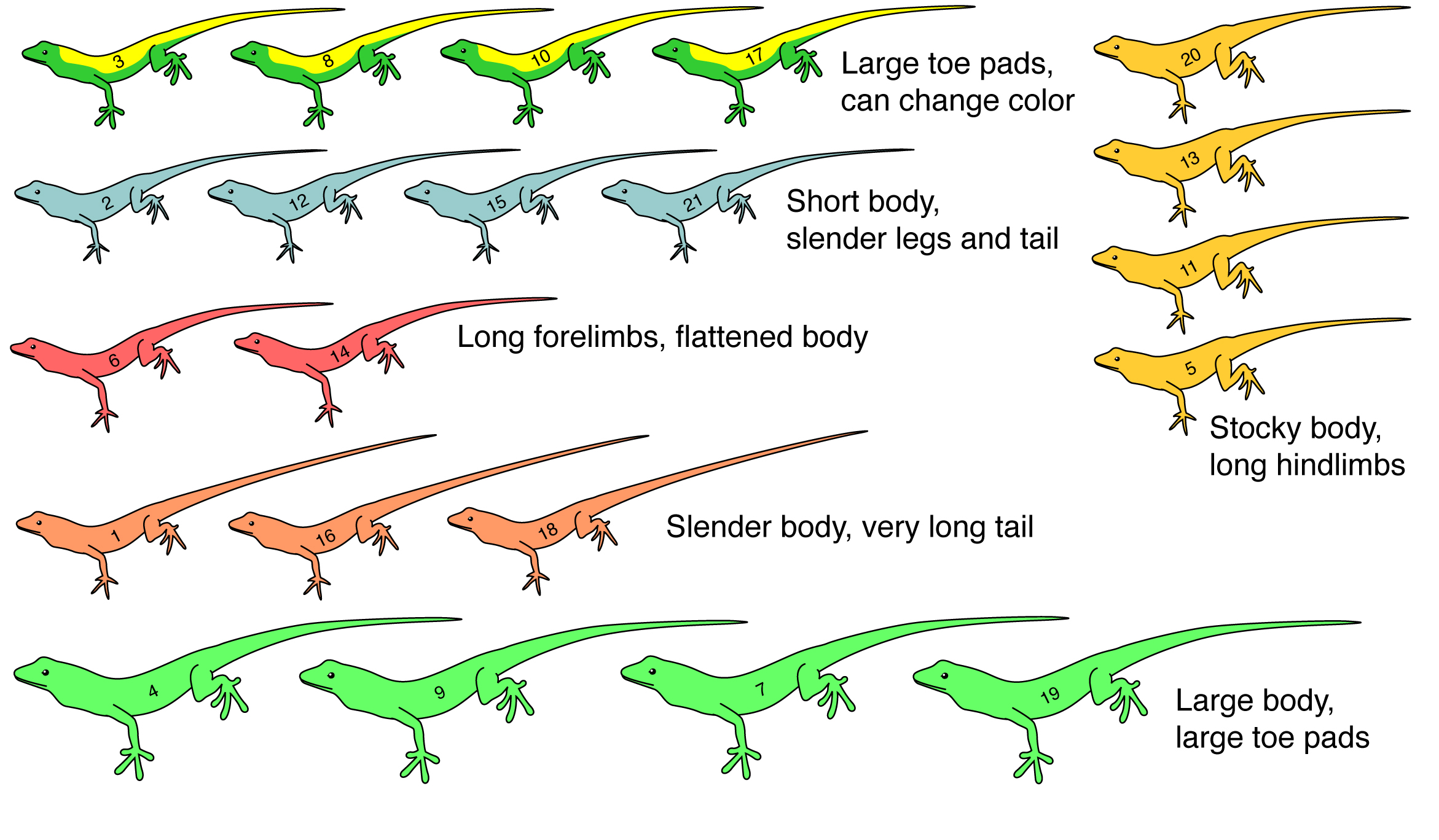 Anolis Evolution Classroom Exercise