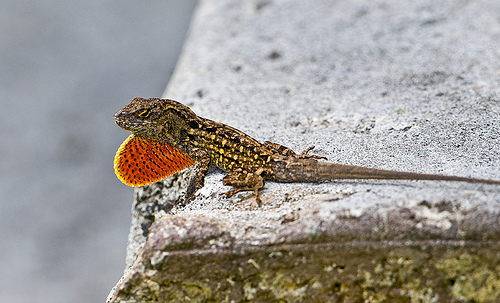 Brown Anoles On Hawaii And Battle Of The Intercontinental Convergents - Anole Annals-8738