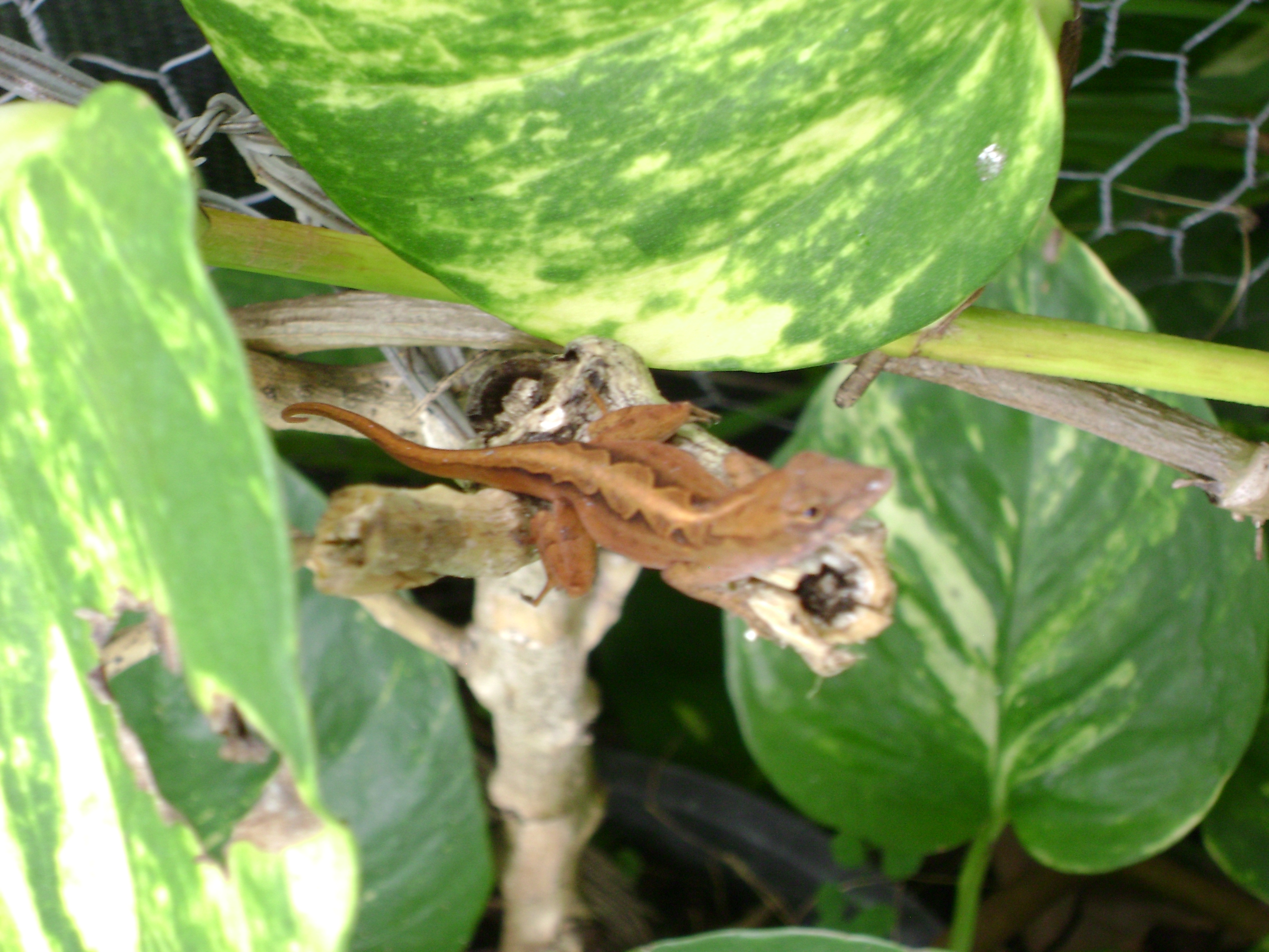 what is the definition of a native species? | anole annals