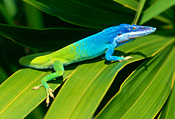 all about blue animals anole annals