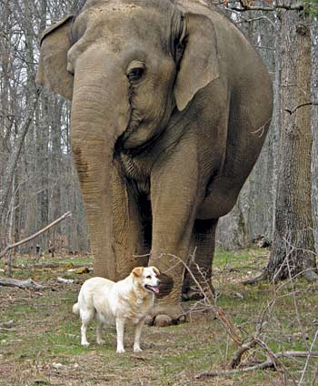 elenews 10 28 11btarrawithbella Bella The Dog Is Dead: Tara The Elephant Mourns Her Best Pal (Photos)