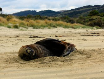 The best sea lion spotting in New Zealand – Welcome to Cannibal Bay