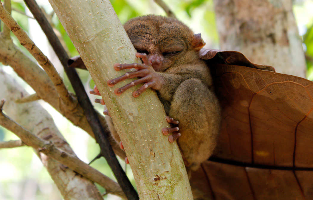 https://i2.wp.com/www.anotherdestination.com/wp-content/uploads/2016/04/tarsier1.jpg?fit=1050%2C674