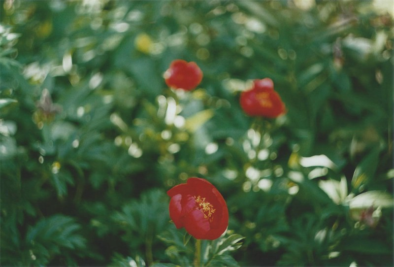 Peonies | another reverie