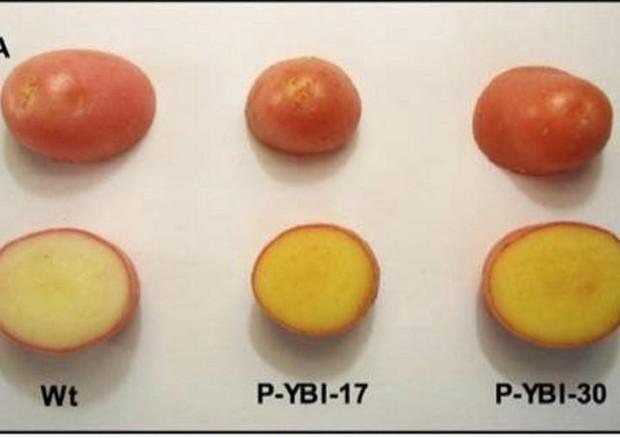 La patata d'oro ricchissima di vitamina A ed E (fonte: Mark Failla) © Ansa