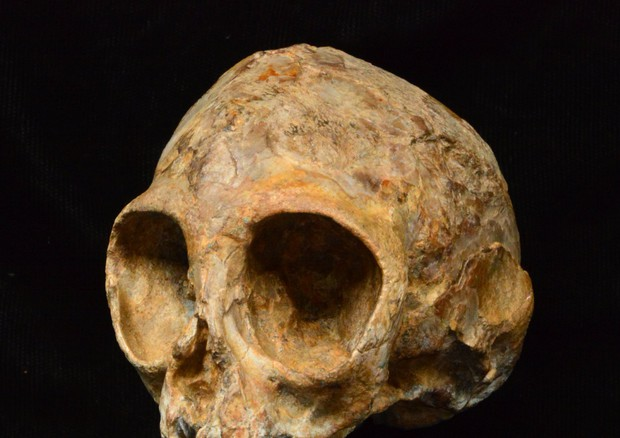 Il cranio di Alesi, l'antenato comune di scimmie e uomo (fonte: Fred Spoor) © Ansa