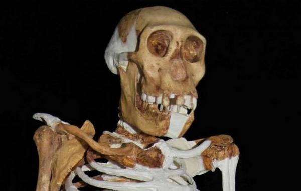 Ricostruzione dello scheletro di Australopithecus sediba, basata sui fossili scoperti a Malapa in Sudafrica (fonte: Lee R. Berger, University of the Witwatersrand)